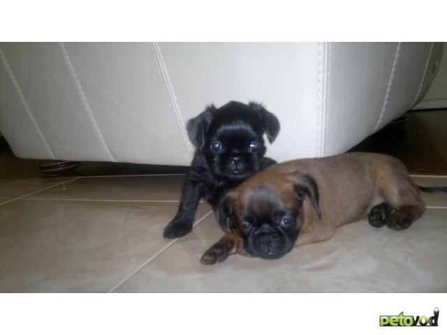 Продаю: бельгийский гриффон и брабансон миленькие щенки