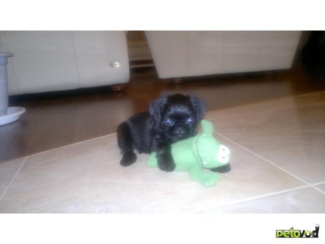 Продаю: бельгийский гриффон и брабансон миленькие щенки фото3