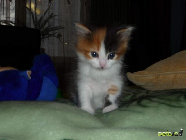 Отдам в дар: Отдам котенка (девочка) в добрые руки