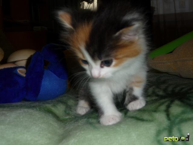 Отдам в дар: Отдам котенка (девочка) в добрые руки фото2