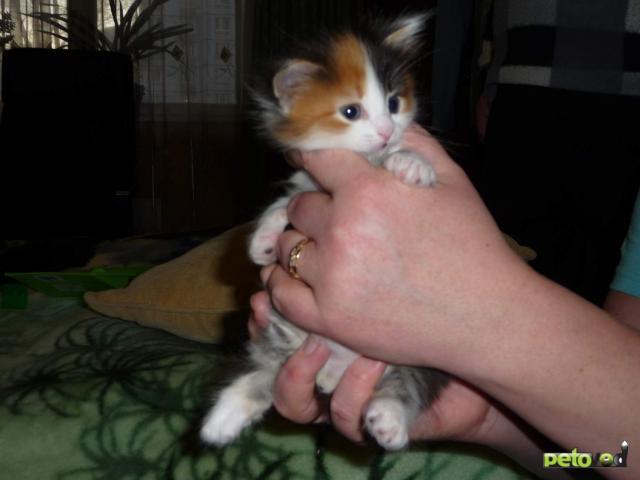 Отдам в дар: Отдам котенка (девочка) в добрые руки фото3