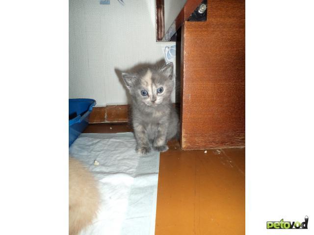 Отдам в дар: отдам котенка в добрые руки (2 мес)
