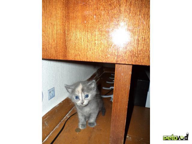 Отдам в дар: отдам котенка в добрые руки (2 мес) фото2