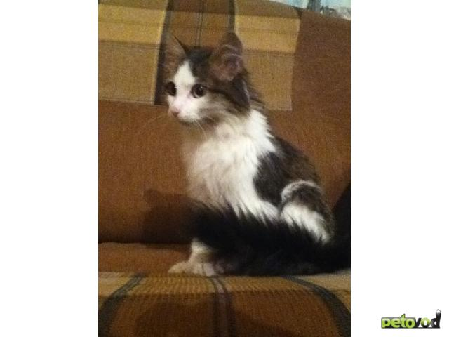 Отдам в дар: Кошечке нужен любящий хозяин фото3