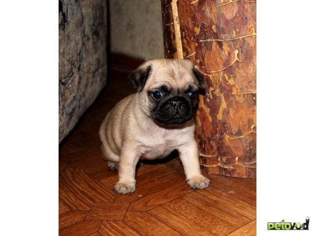 Продаю: щенки мопса фото3