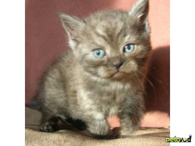 Продаю: Шотландские котята (страйты)