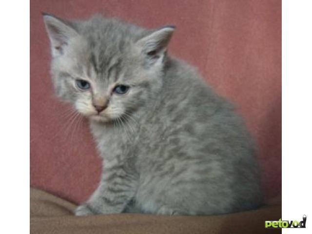 Продаю: Шотландские котята (страйты) фото2