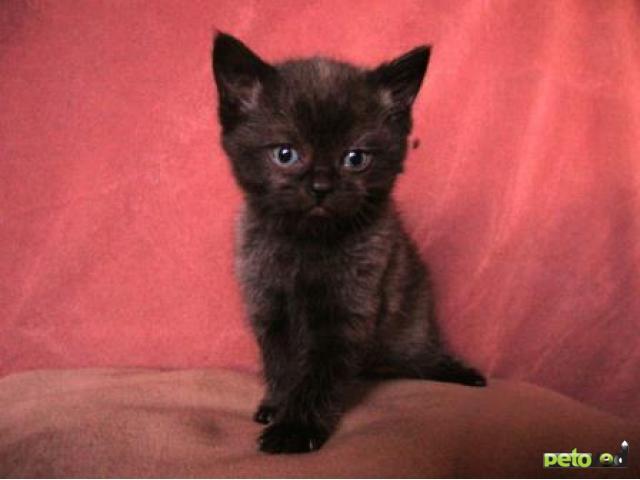 Продаю: Шотландские котята (страйты) фото3