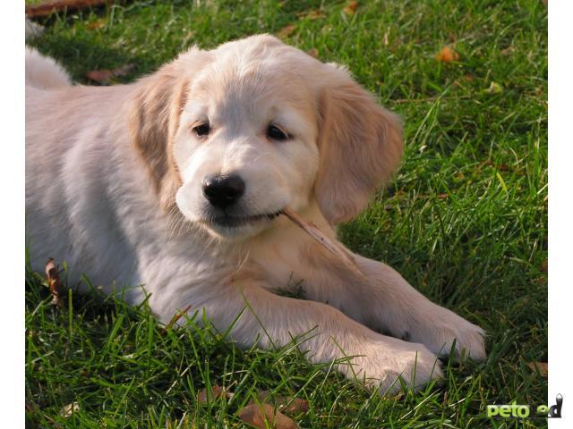 Продаю: Золотистый ретривер щенки