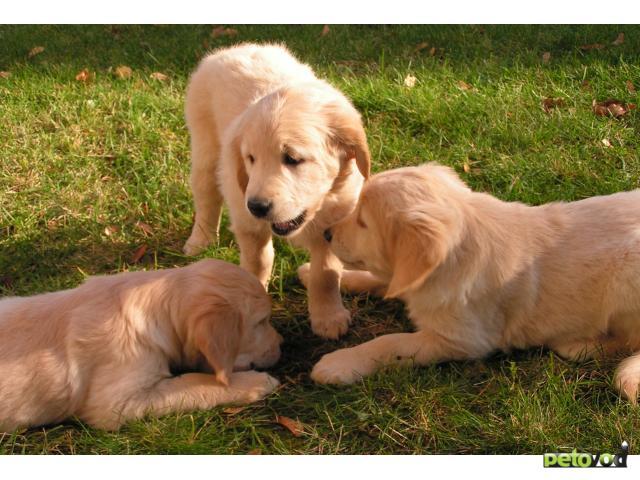Продаю: Золотистый ретривер щенки фото2