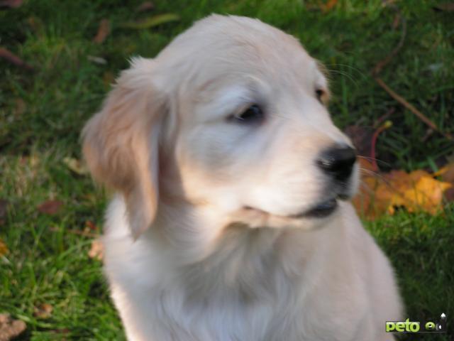 Продаю: Золотистый ретривер щенки фото3
