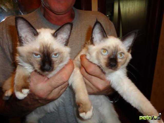 Продаю: Продается котенок породы Священная бирма