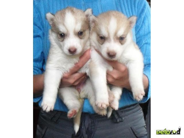 Продаю: щенки хаски фото2