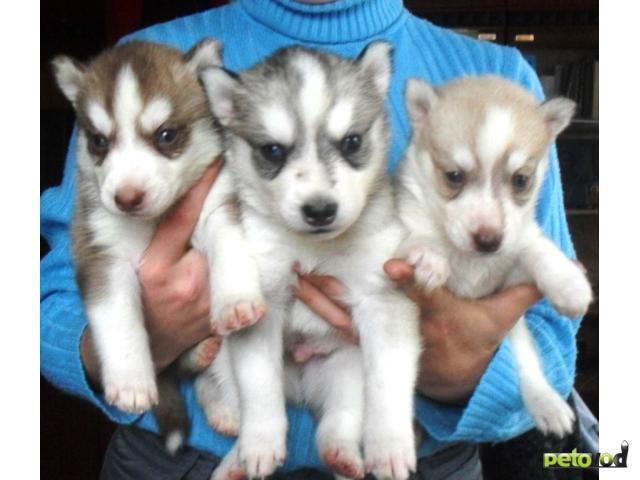Продаю: щенки хаски фото3