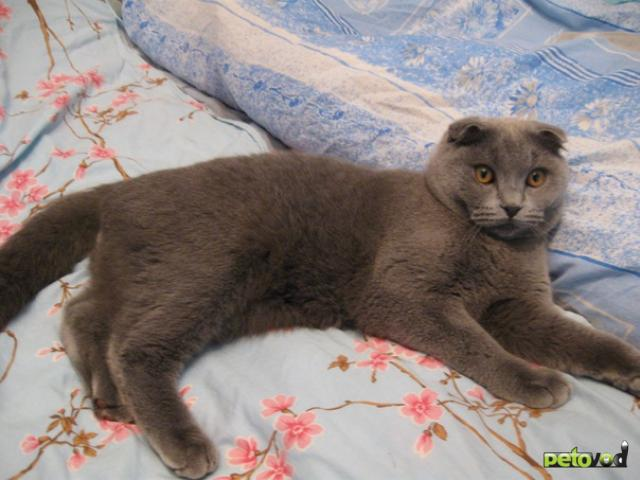 Вязка: Шотландский котик приглашает на вязку м Каховская