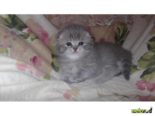 Продаю: шотландские вислоухие котята