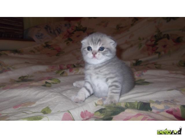 Продаю: шотландские вислоухие котята фото3