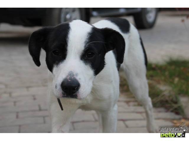 Отдам в дар: отдам щенка в добрые руки фото3
