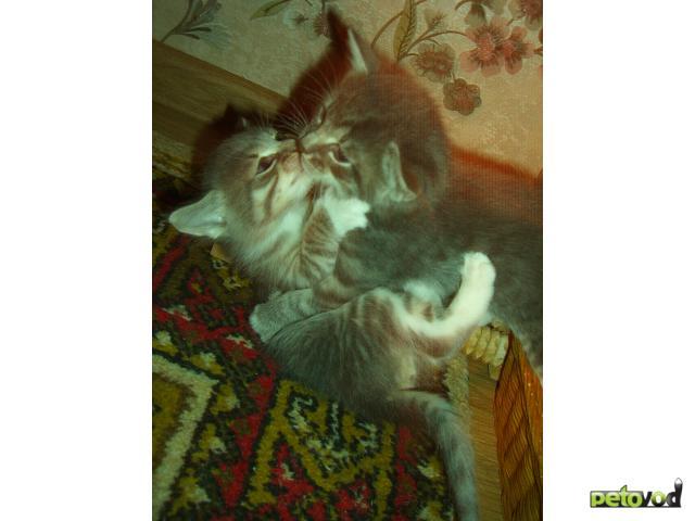 Отдам в дар: Три котенка-близнеца ищут доброго хозяина фото2