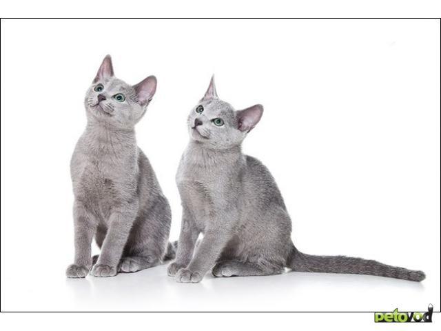 """Продаю: Русские голубые котята из питомника """"Ruslandija"""""""