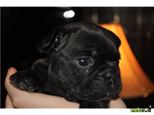 Продаю: щенки французского бульдога