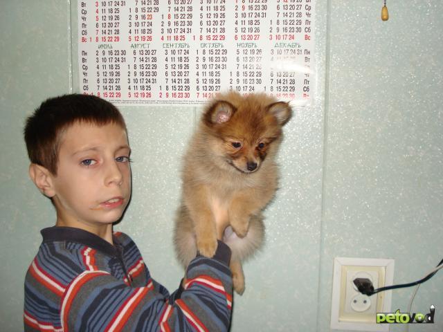 Продаю: щенки немецкого шпица фото2