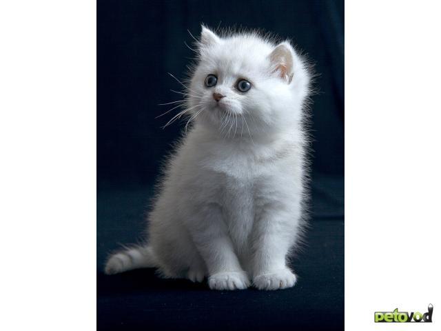 Продаю: Британские серебристые котята фото2