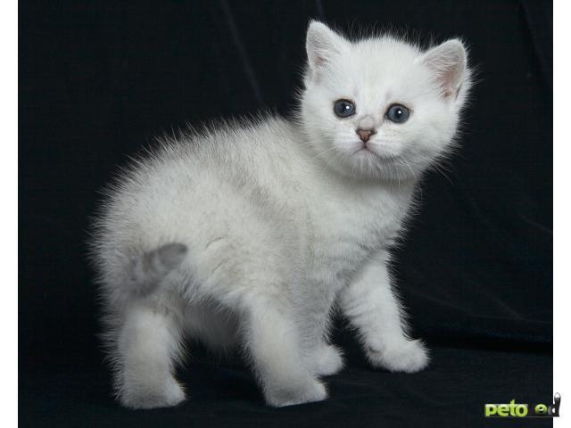 Продаю: Британские серебристые котята