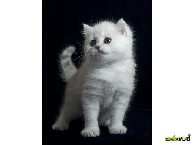 Продаю: Британские серебристые котята фото3