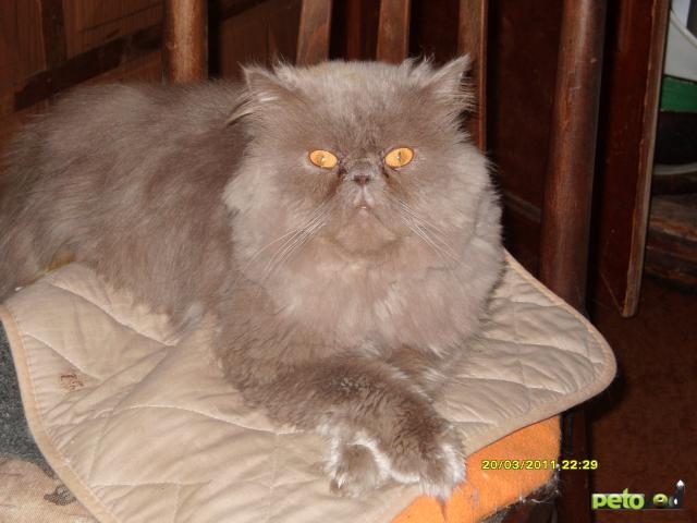 Вязка: Обаятельный и ласковый персидский кот ищет кошечку