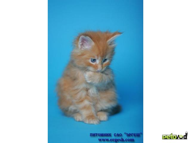 Продаю: Котята породы МЕЙН-КУН