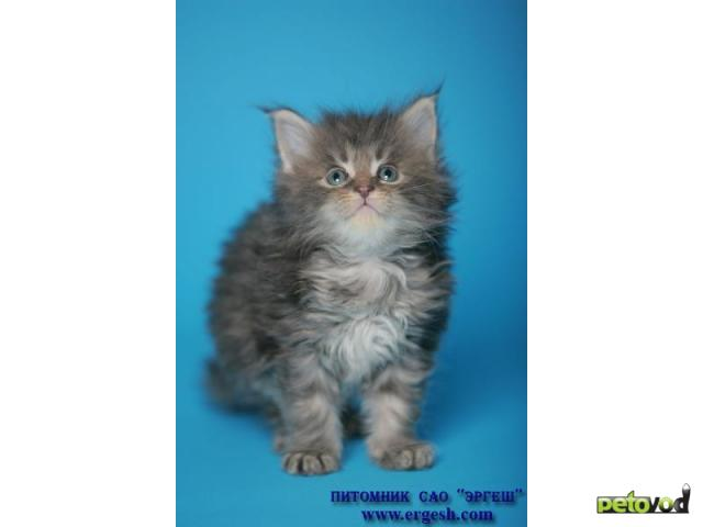 Продаю: Котята породы МЕЙН-КУН фото2