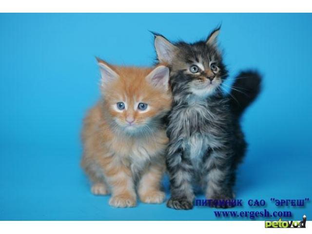 Продаю: Котята породы МЕЙН-КУН фото3