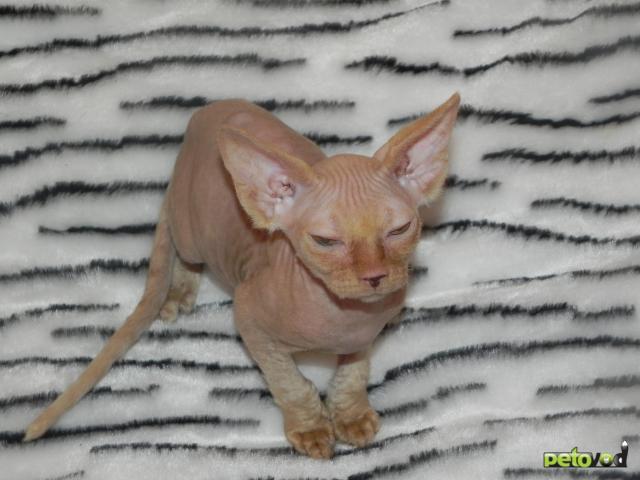 Продаю: котята канадского сфинкса фото3