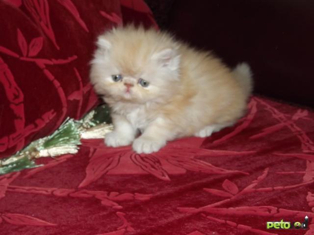 Продаю: котята персы и экзоты фото2