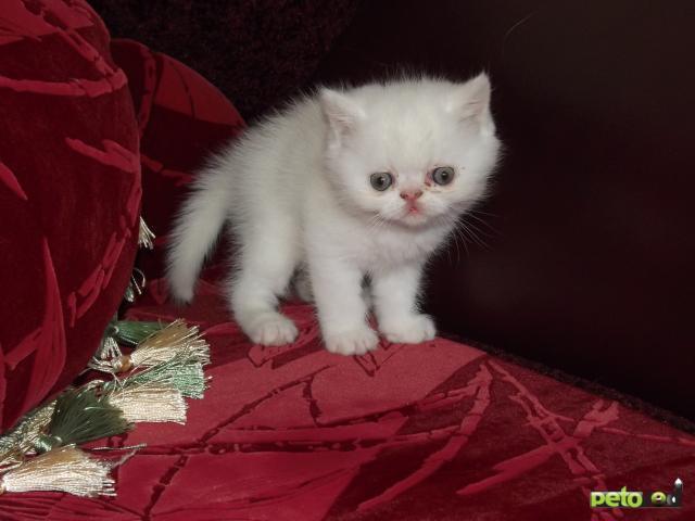 Продаю: котята персы и экзоты фото3