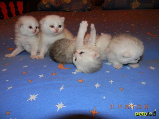 Продаю: тся британские котята