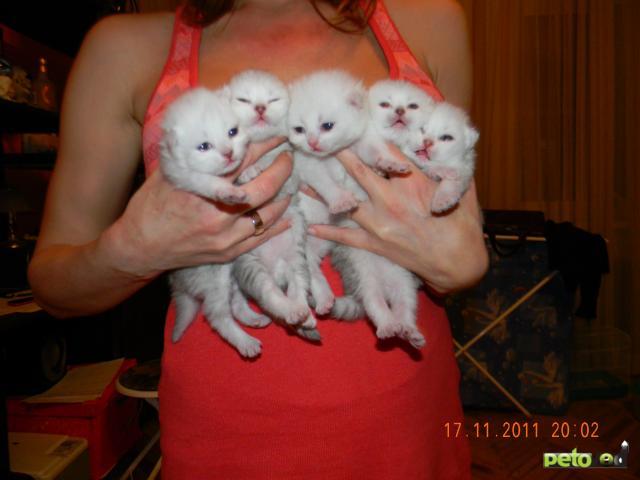 Продаю: тся британские котята фото2