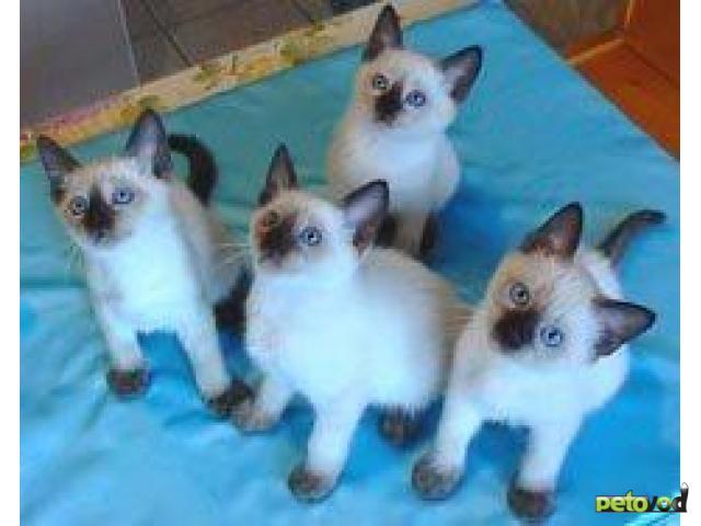 Продаю: Тайские сиамские котята