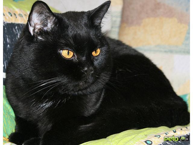 Вязка: Ищем кошечку для британского кота (беспл вязка)