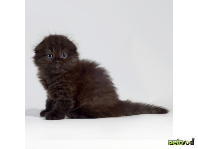 Продаю: Шикарная черная вислоухая пантерка фото2