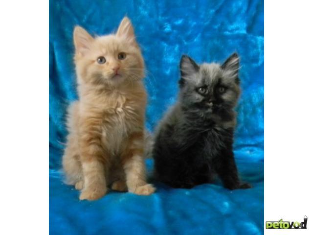 Продаю: Очаровательные котята курильского бобтейла