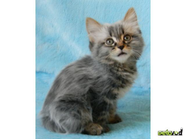Продаю: Очаровательные котята курильского бобтейла фото2