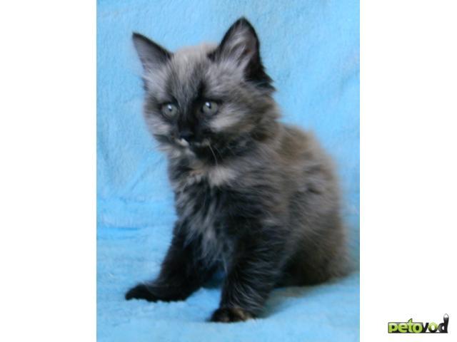 Продаю: Очаровательные котята курильского бобтейла фото3