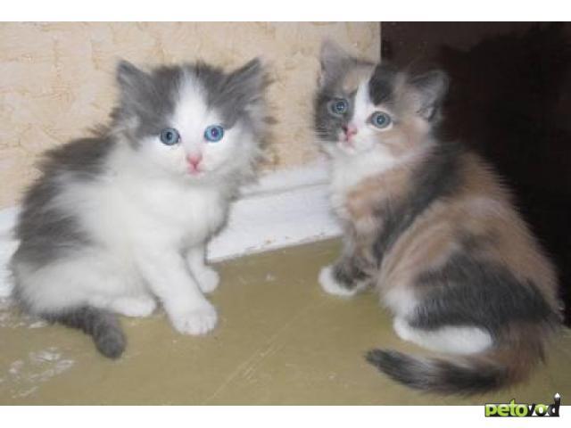 Отдам в дар: Два замечательных котенка в добрые руки