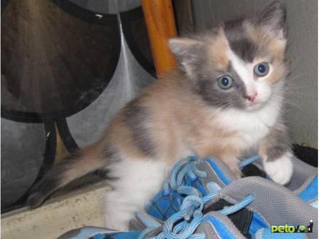 Отдам в дар: Два замечательных котенка в добрые руки фото3