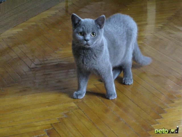 Продаю: продам британского котенка