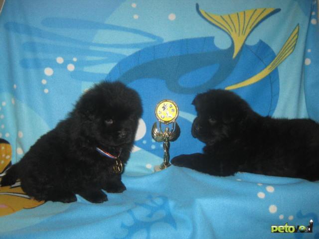 Продаю: Щенки чау чау черного окраса  фото3