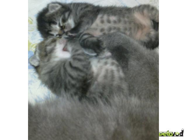 Продаю:  британских котят фото2