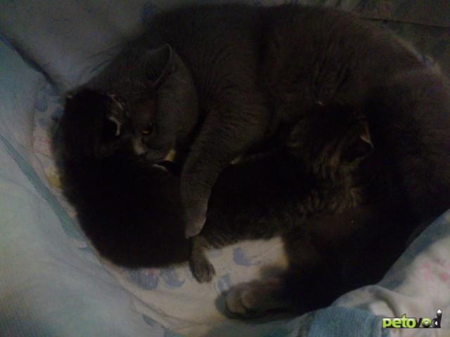Продаю:  британских котят фото3
